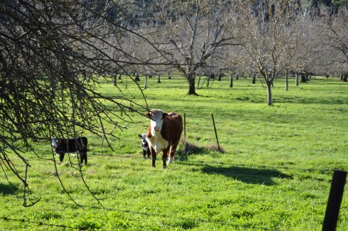 Green pastures and cows along the Rail Trail